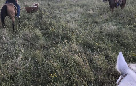Mr. Stratton and Mr. Inman are pasture roping some wild cattle.