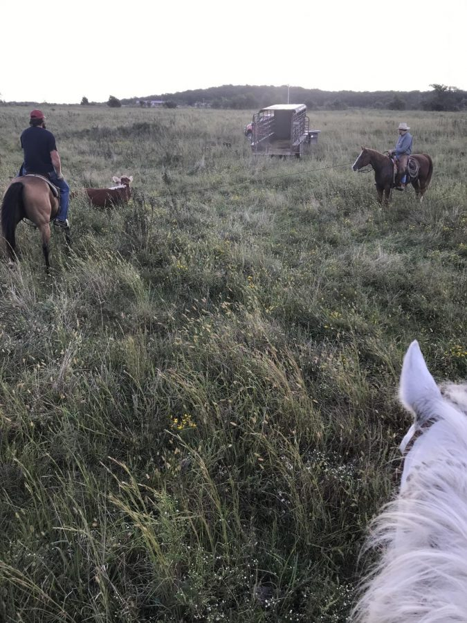Mr.+Stratton+and+Mr.+Inman+are+pasture+roping+some+wild+cattle.